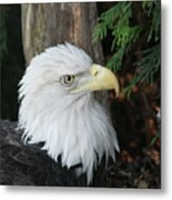 Bald Eagle #8 Metal Print
