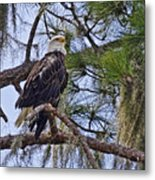 Bald Eagle By H H Photography Of Florida Metal Print