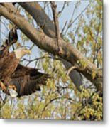 Bald Eagle Catch Of The Day  Metal Print