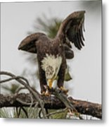 Bald Eagle Eating Fish Metal Print