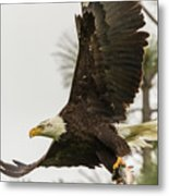 Bald Eagle Flying With Fish Metal Print