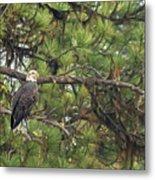 Bald Eagle In A Pine Tree, No. 4 Metal Print
