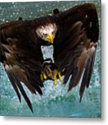 Bald Eagle In Flight Metal Print by Dean Bertoncelj