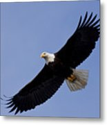Bald Eagle In Flight Metal Print by John Hyde - Printscapes