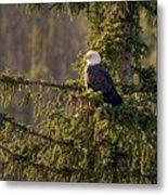 Bald Eagle In Pine Metal Print