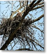 Bald Eagle In The Nest Metal Print