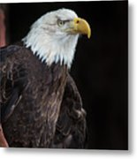 Bald Eagle Intensity Metal Print
