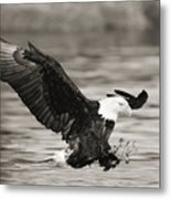 Bald Eagle Landing Metal Print