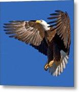 Bald Eagle Landing  Metal Print