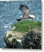 Bald Eagle Leaves Nest Metal Print