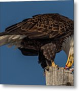 Bald Eagle Lunch Metal Print
