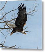 Bald Eagle Makes An Aggressive Dive Metal Print
