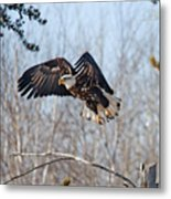 Bald Eagle Near Itasca Metal Print