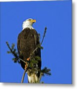 Bald Eagle On Blue Metal Print