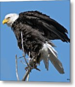 Bald Eagle On Cottonwood Tree Branches Metal Print