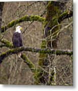 Bald Eagle On Mossy Branch Metal Print