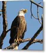 Bald Eagle On Pine Island Metal Print