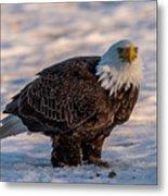 Bald Eagle Over Its Prey Metal Print