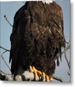 Bald Eagle Perched On Branch On A Windy Day Metal Print
