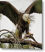 Bald Eagle Picking Up Fish Metal Print