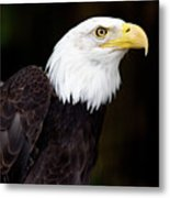 Bald Eagle - Pnw Metal Print