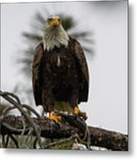 Bald Eagle Protecting His Fish Metal Print