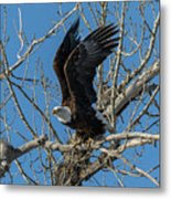 Bald Eagle Pushes Off For Launch Metal Print
