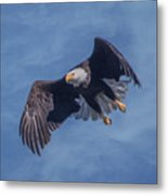 Bald Eagle Ready For A Treat Of Interest Metal Print