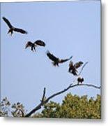 Bald Eagle Sequence  1277 Metal Print