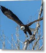 Bald Eagle Shows Its Focus Metal Print