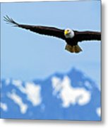 Bald Eagle Soars Over Hood Canal Metal Print