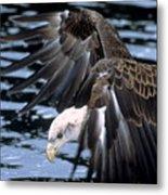 Bald Eagle Strikes Metal Print