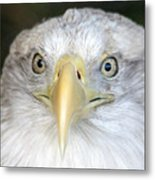 Bald Eagle Up Close Metal Print