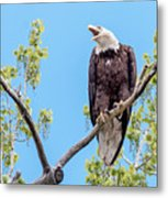 Bald Eagle Warning Metal Print
