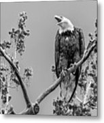 Bald Eagle Warning In Black And White Metal Print