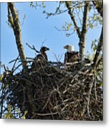 Bald Eagle With Chick In Nest 031520169849 Metal Print