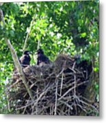 Bald Eaglet's 5 Wks 2 Metal Print