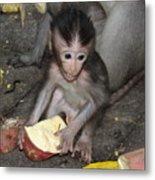 Balinese Baby Monkey Eating Metal Print