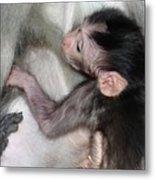 Balinese Baby Monkey Feeding Metal Print