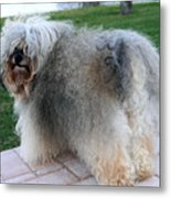 ball of fur Havanese dog Metal Print