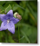 Balloon Flower Metal Print