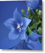 Balloon Flowers - Blooms And Buds Metal Print