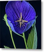 Baloon Flower In Early Morning Metal Print