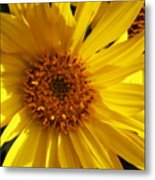 Balsamroot Flower Metal Print