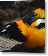 Baltimore  Oriole 2 Metal Print