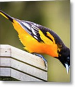 Baltimore Oriole About To Jump Metal Print