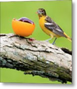Baltimore Oriole Having Breakfast This Morning Metal Print