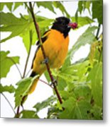 Baltimore Oriole With Raspberry  Metal Print
