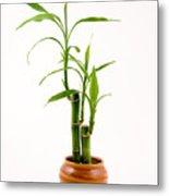 Bamboo In Clay Pot Metal Print