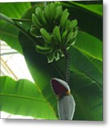 Banana Plant Kew London England Metal Print